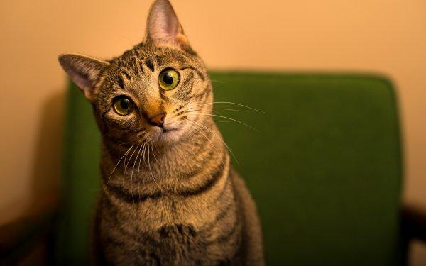Ученые: Кошки предотвращают астму у детей