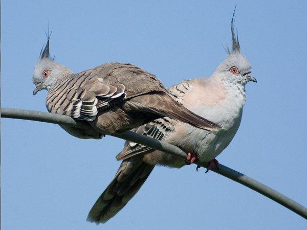 Ученые: Хохлатые голуби издают тревожные сигналы перьями