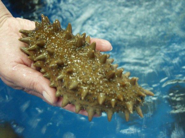 Российские ученые будут лечить рак с помощью морского огурца