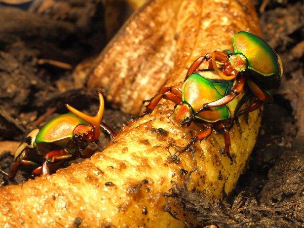Биологи вырастили жука с третьим глазом