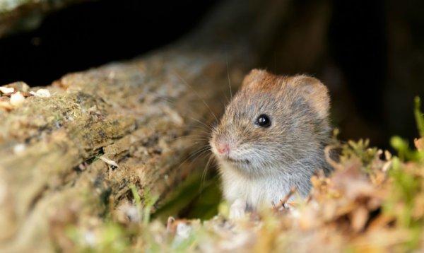 Ученые: Мыши охотно изменяют менее пьющим партнерам