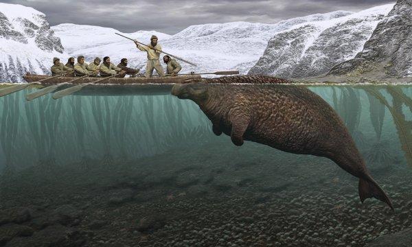 В Командорском заповеднике нашли скелет морской коровы Стеллера