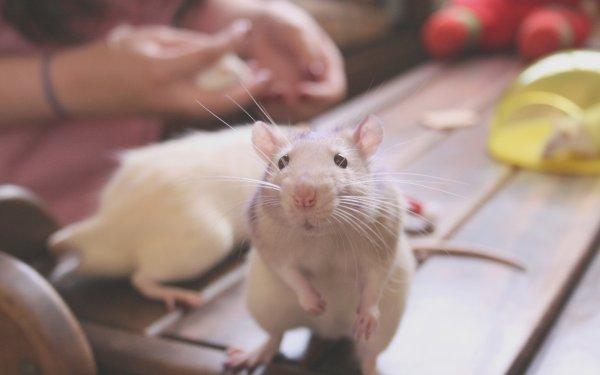 Парализованным крысам вживили стволовые клетки, вернув способность ходить