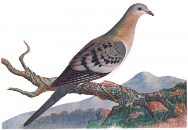 Ученые выяснили причину вымирания странствующих голубей