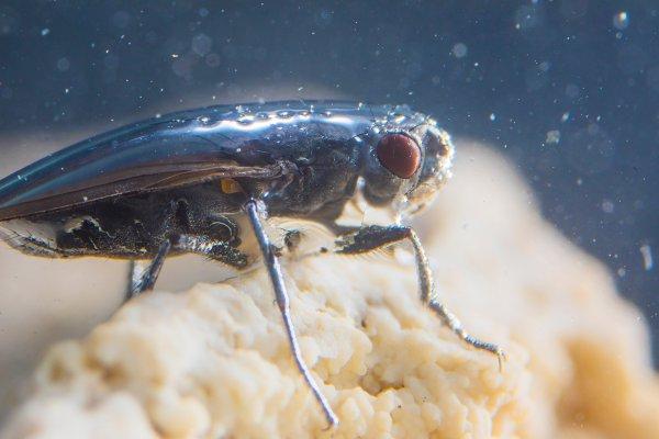 Ученые заинтересовались мухами-аквалангистами