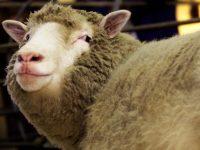 Учёные опровергли миф о предрасположенности овечки Долли к артриту