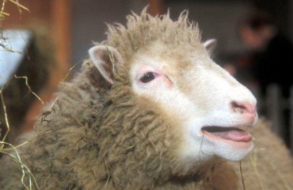 Овечка Долли умерла не от генной болезни: Что выяснили учёные о клонированных животных?