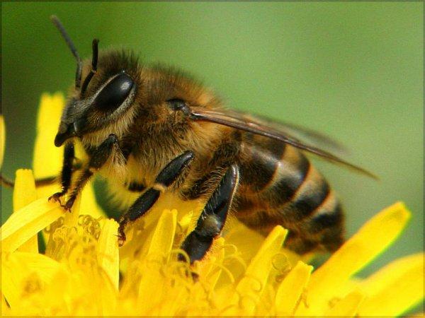 Ученые рассказали, почему пчелы не роняют нектар во время полета