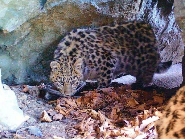 В Приморье амурский тигр и самка леопарда делят одну и ту же пещеру