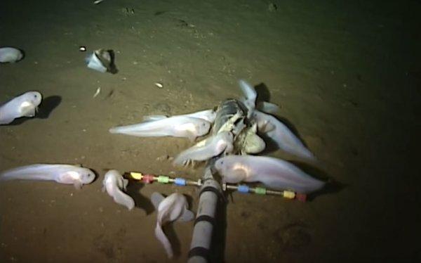 В Марианской впадине обнаружена самая глубоководная рыба