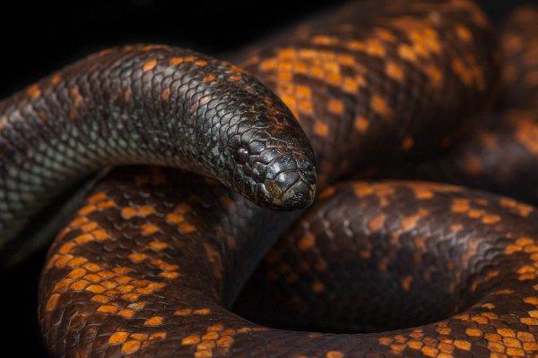 Африканские змеи обладают самой толстой кожей