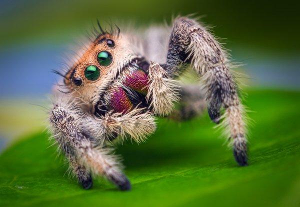 В Индии видели поедающего головастиков паука-скакуна