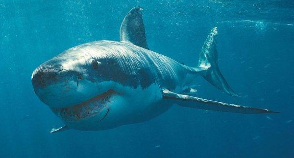 Ученые: Белые акулы заставляют морских животных испытывать наибольший стресс