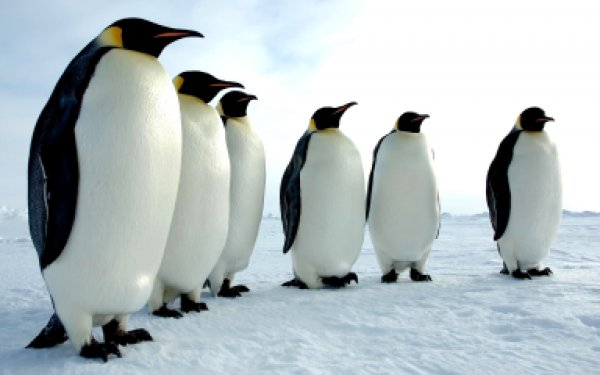 В Новой Зеландии нашли кости гигантских пингвинов