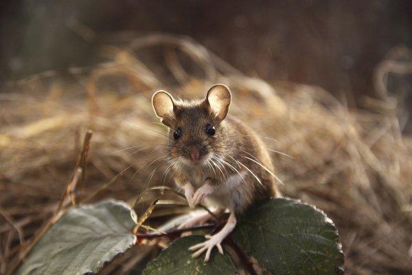 Учёные: мыши общаются с противоположным полом на повышенных тонах