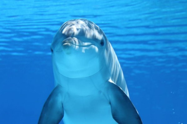 Дельфины глохнут из-за секс-оргий рыб