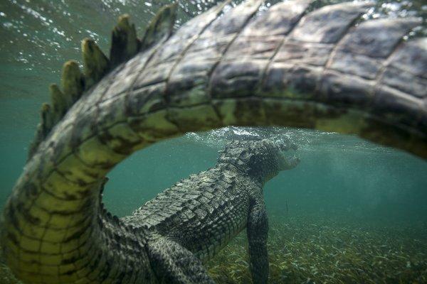 Изменение климата может привести к сокращению популяции крокодилов