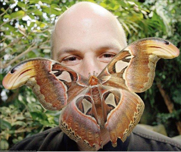 В Ростове вылупилась самая крупная бабочка на земле