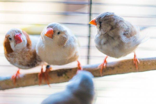 Приёмные отцы влияют на поведение певчих птиц сильнее родных