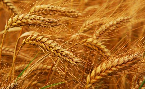 Ученые из России могут повысить урожайность пшеницы